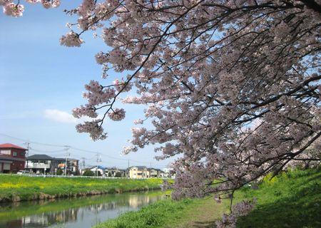 北越谷 桜 2013.04-1