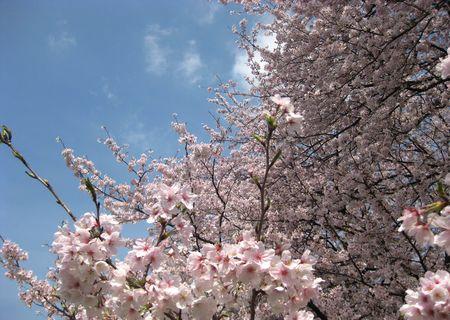 北越谷 桜 2013.04-2
