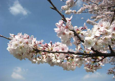 北越谷 桜 2013.04-3