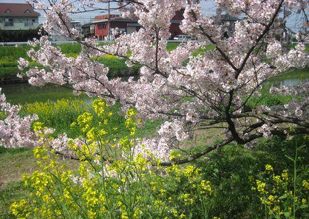 北越谷 桜 2013.04-4