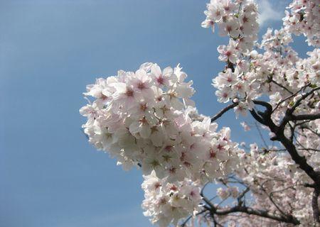 北越谷 桜 2013.04-9