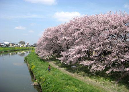北越谷 桜 2013.04-10