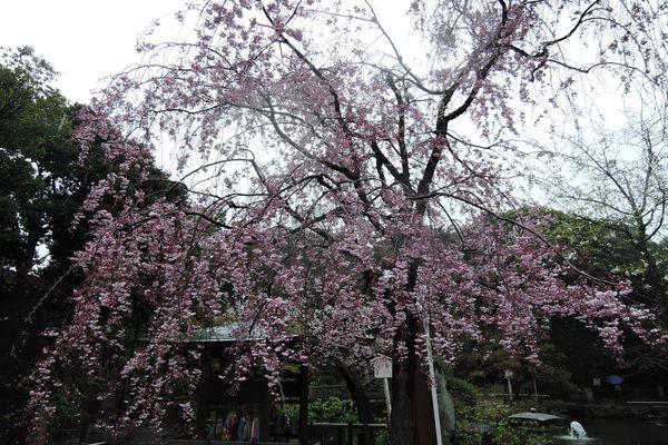 西新井大師 桜 02