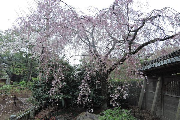 西新井大師 桜 06