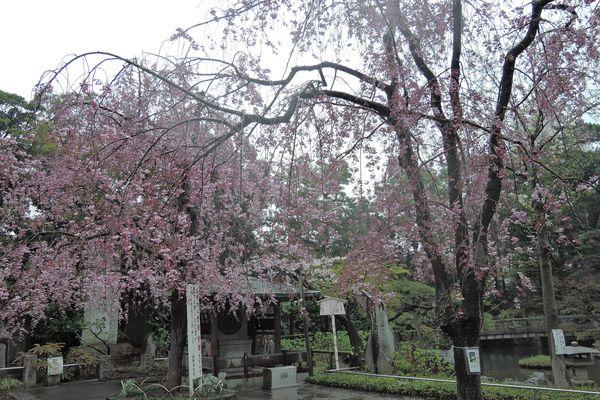 西新井大師 桜 07