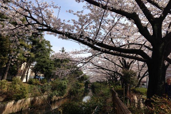 舎人緑道公園 桜 01