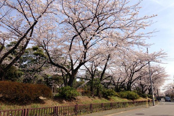 舎人緑道公園 桜 04