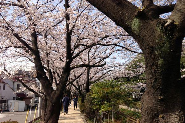 舎人緑道公園 桜 05