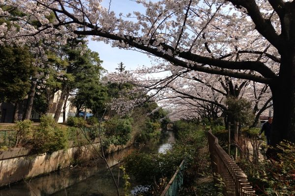 舎人緑道公園 桜 06
