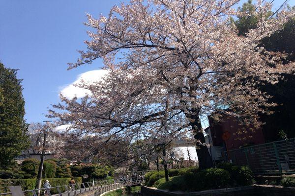 見沼代親水公園 桜 01