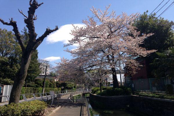 見沼代親水公園 桜 07