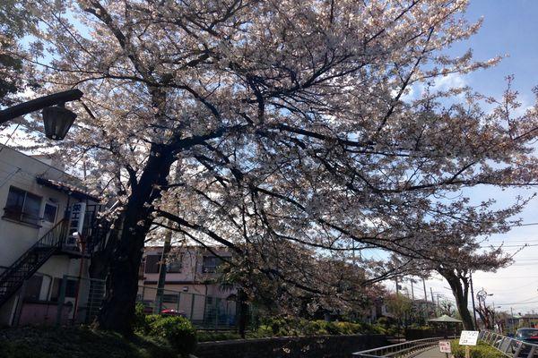 見沼代親水公園 桜 06