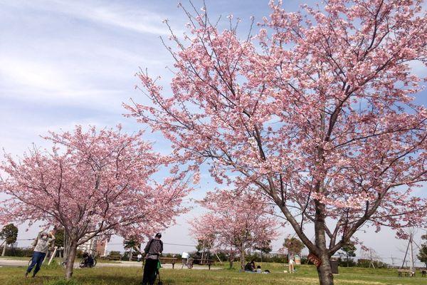 舎人公園の桜 01