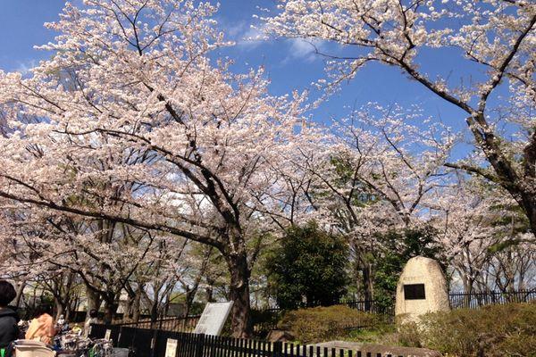 舎人公園の桜 07