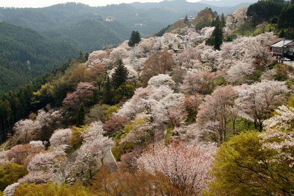 吉野山 桜 01