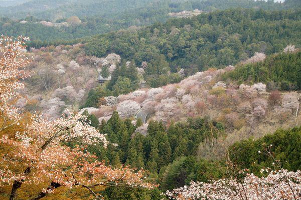 吉野山 桜 02